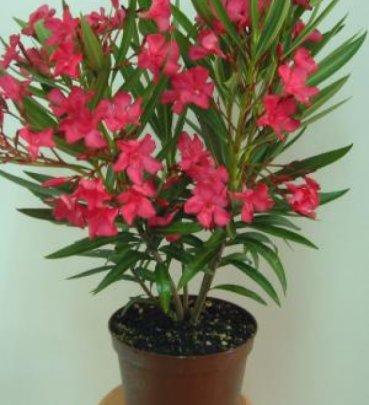 ecojardin laurier rose nerium oleander. Black Bedroom Furniture Sets. Home Design Ideas