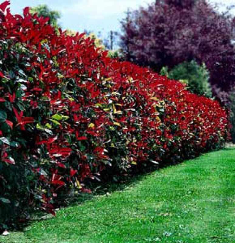 ecojardin arbuste photinia photinia x fraseri red robin. Black Bedroom Furniture Sets. Home Design Ideas